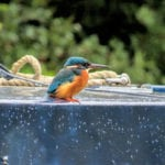 Kingfisher along the canal